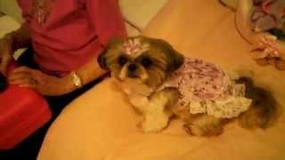 Punkin's Purple Party Dress :) (shih Tzu)