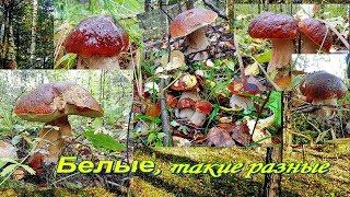 Белые грибы, такие разные.