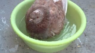 鳩のジローの水浴び