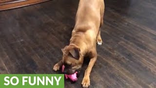 Boxer freaks out over squealing pig toy