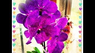 Орхидея Ванда(This video is about Vanda Orchid https://youtu.be/pp7YrMJbE9k В этом видео я постаралась рассказать ,все что я знаю об орхидеи Ванда..., 2015-05-12T13:43:52.000Z)