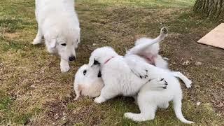Maremma Sheepdog family in the UK