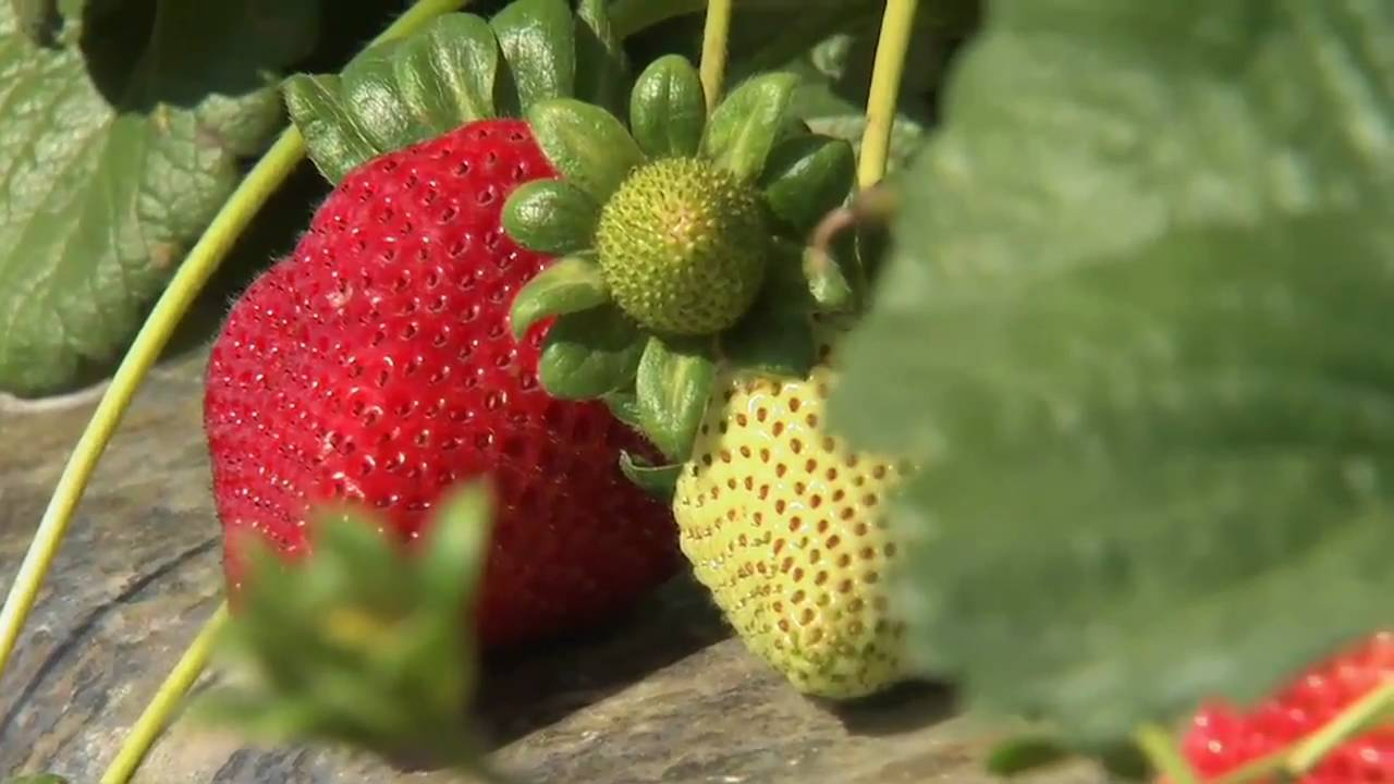 California Strawberry Harvest Youtube