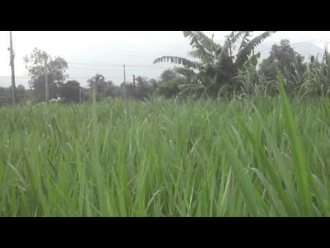 Cách bố trí bec tưới cỏ voi
