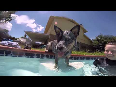 Bishop the Australian Cattle Dog First Pool Day (6/27/15)