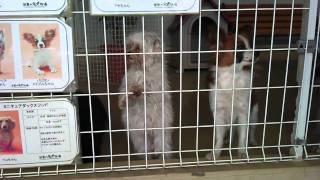 フラダンス犬とアピール犬.