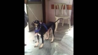 Kanni Dog @4month