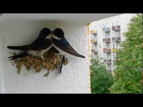 Ptasie zaloty jaskółki oknówki Delichon urbica