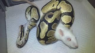 "Ball Python VS Small Rat (Live Feeding!) ""PUT HIM IN A HEEL HOOK!"""