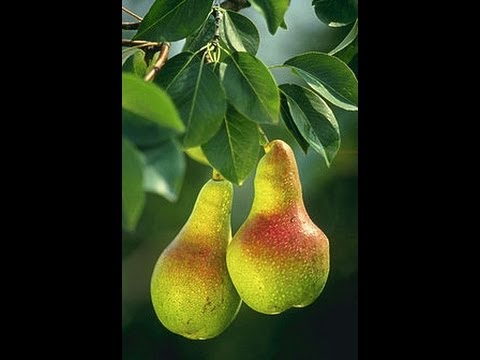 Propagating Clone A Pear Tree
