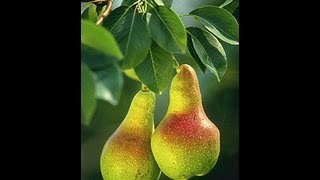 Propagating/Clone a pear tree