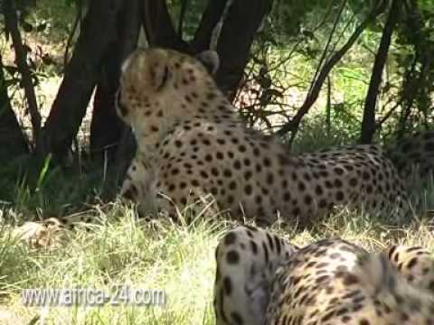 Cheetah at De Wildt in their natural surroundings - Africa Travel Channel