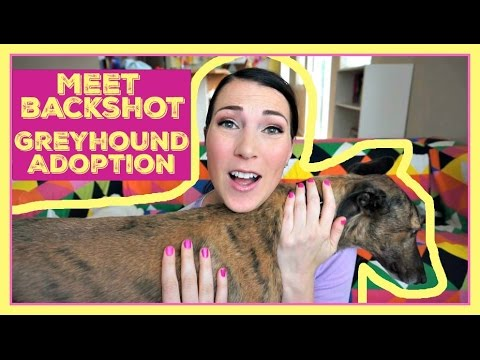 ADOPTING A GREYHOUND!: Meet Our Foster Backshot