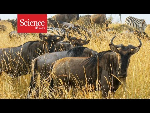 Every year, thousands of drowned wildebeest feed this African ecosystem