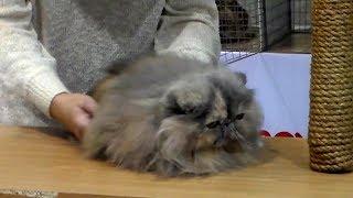 ❤️️ Вы только Посмотрите на это Пушистое ЧУДО 🐱 Персидская Кошка! Породы Кошек