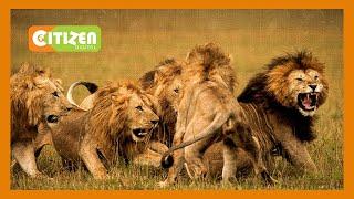 Lions maul man in Ongata Rongai, Kijiado County