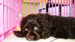 Cocker Spaniel, Puppies, For, Sale, In, Fresno, California, Ca, Stockton, Riverside, Santa Ana, Anah
