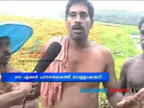 Paddy farmers in Thrissur Kunnamkulam on crisis after the summer rain|നെൽകൃഷിക്കാർ വെട്ടിലായി