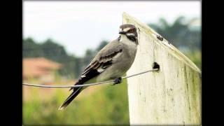 Cantos dos Pássaros - Primavera Xolmis_cinereus