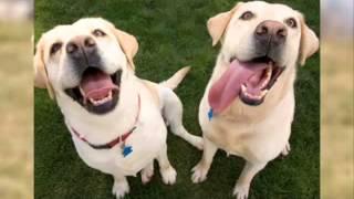 Labrador Retriever (lab) Dog & Puppies Information Video - Animal Videos