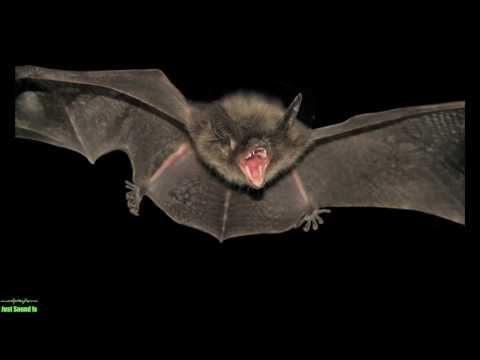 Bats Sound