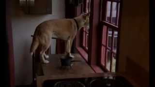 16 Редкие собаки пули венгерская водяная собака, тайский риджбек, лаготто романьоло, перуанская орхи