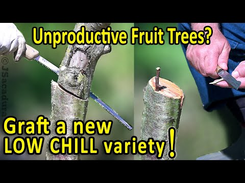 Grafting Fruit Trees | Unproductive Fruit Trees in a mild winter zone? Graft a LOW CHILL variety!