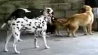 My Dogs Great Dane, Golden Retriever, Pitbull, Dalmatian Playing With The Ball.