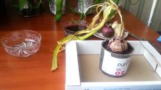 видео геацинт посадка и выгонка цветов