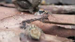 Peacock Spider 2 (Maratus tasmanicus)