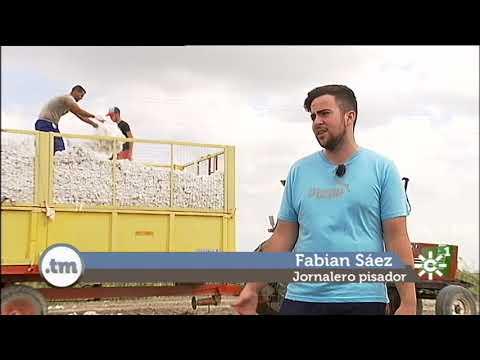 Buena campaña del algodón en el Bajo Guadalquivir
