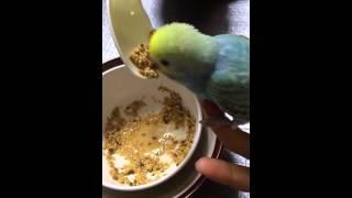 セキセイインコのイブが家に来た最初の3週間は餌をスプーンであげてまし...