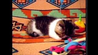 Ziakatz Enzo the Exotic Shorthaired Kitten is 7 weeks old