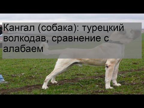 Кангал (собака): турецкий волкодав, сравнение с алабаем