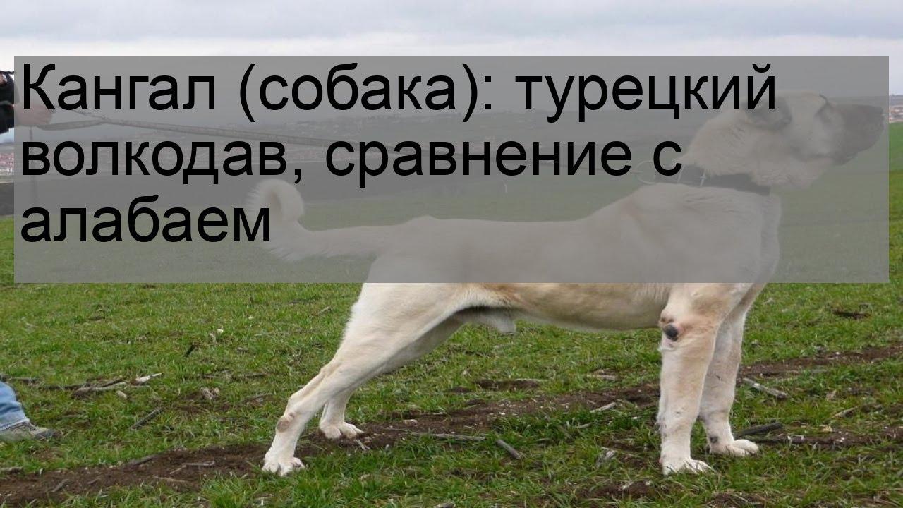 Кангал (собака): турецкий волкодав, сравнение с алабаем ...