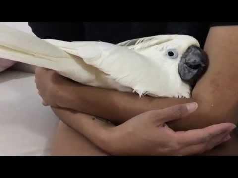 Cockatoo cuddling so adoreble