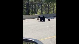 Bear Cub Learning How to Climb Barrier || ViralHog