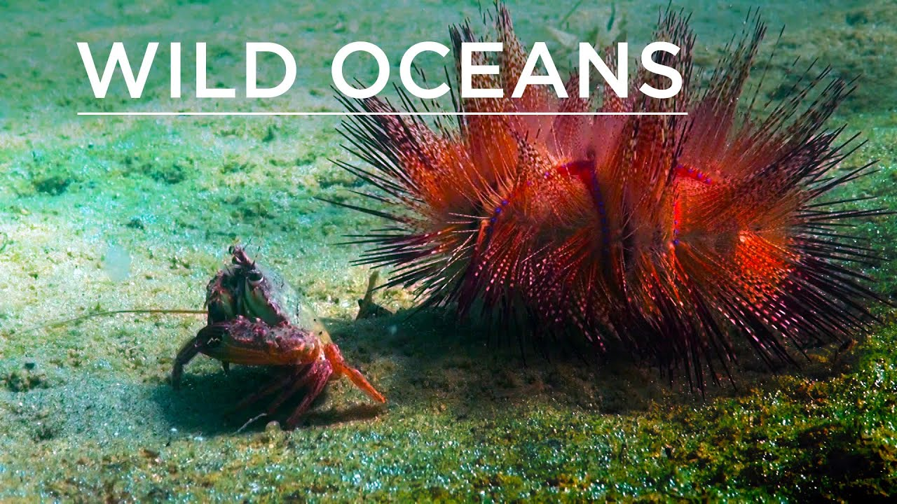 sea urchin and shrimp relationship
