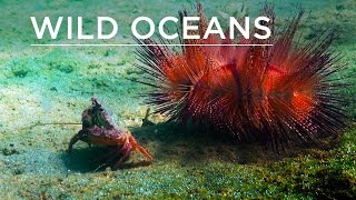 Wild Oceans: Hermit crabs, camouflaged critters & urchin-crab duo