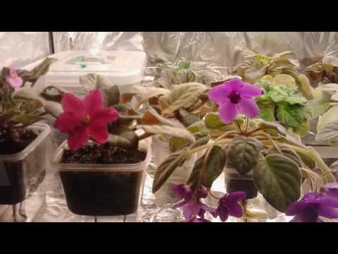 Через какое время появляются цветы у фиалок (все этапы развития)
