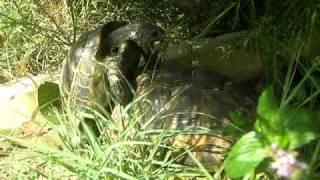 kostenurki - porno s procedurki :D (turtles fight fuck )