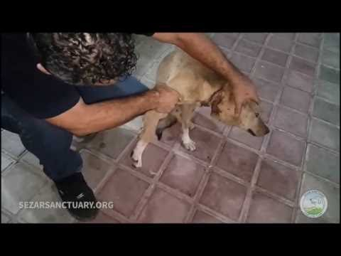 Rescuing a stray dog that was strangled on embedded wire on his neck - Hachiko