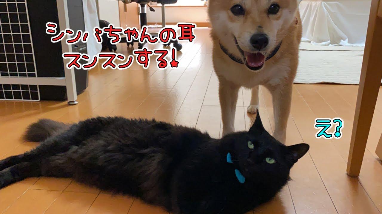 黒猫シンバ様の耳を嗅ぐのが好きな柴犬ミク