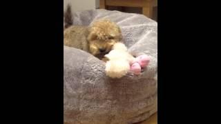 Welsh Terrier Poodle Cross