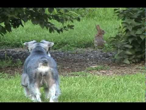 Schnauzer And The Rabbit