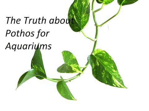 The Truth About Pothos For Aquarium Nitrate Reduction