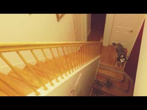 Siberian Husky Dog Frustrated when He Forgot How to Climb up Stairs
