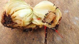 Луковая муха внутри луковицы