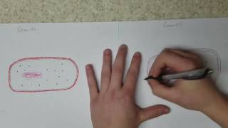 How to draw gram negative and gram positive bacteria