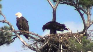 Young Eagle in nest ready to fly.